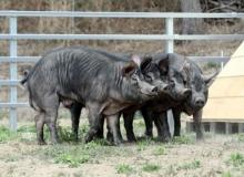 [기타기관]경북재래돼지 국제연합식량농업기구 유전자원으로 등재